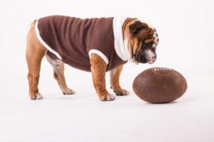 Il bulldog inglese e le sue caratteristiche